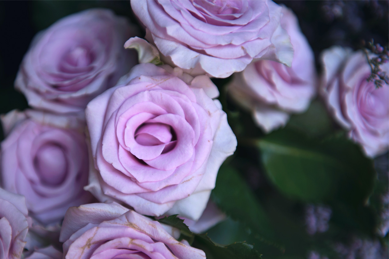 eight30 pink roses